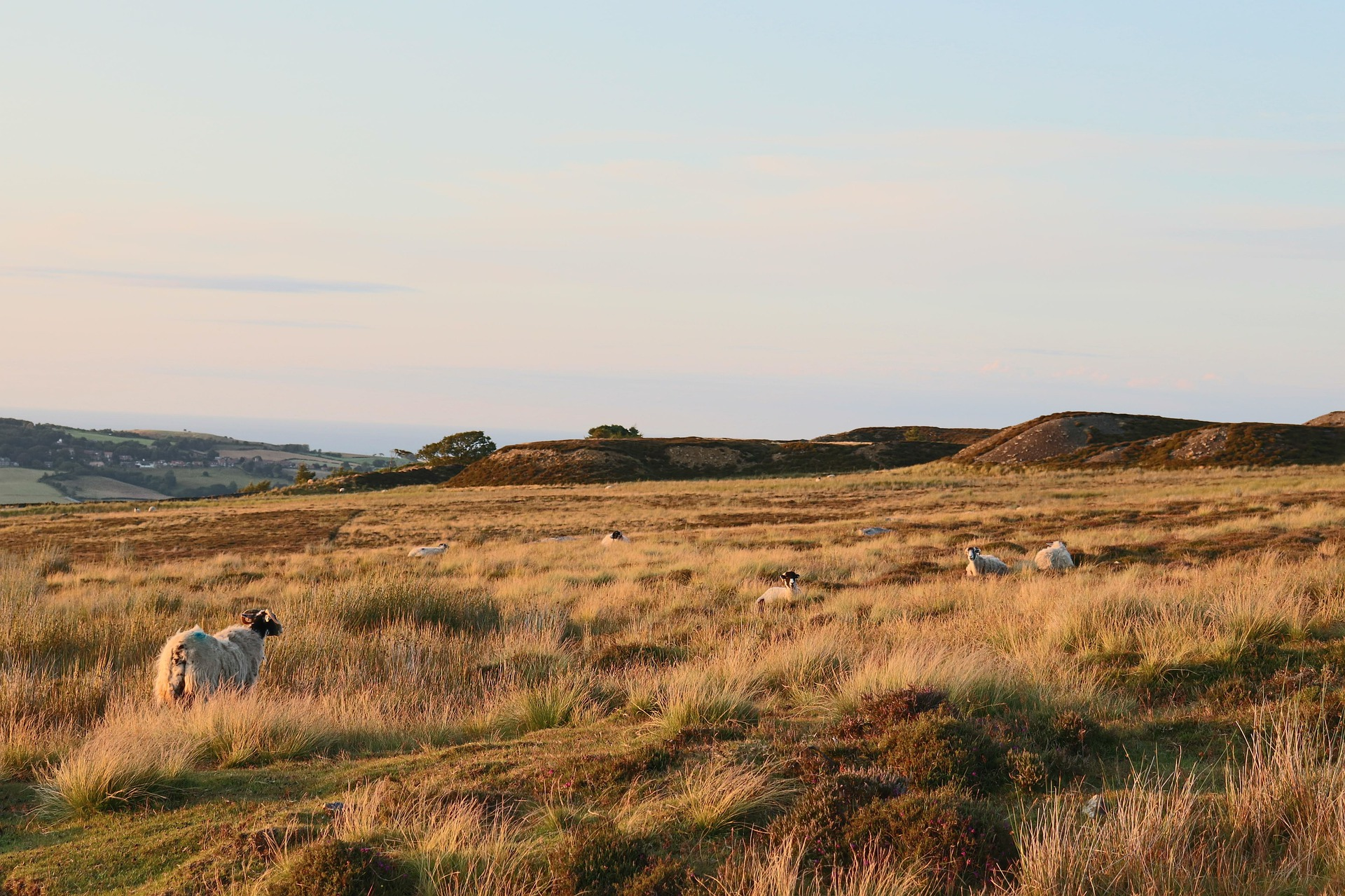Sheep graze on the moor in Yorkshire, England.